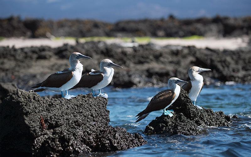 blue footed booby birds unique galapagos ecuador endemic vacation travel