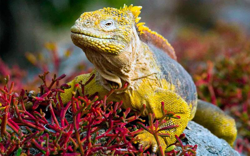 land iguana unique galapagos ecuador endemic vacation travel