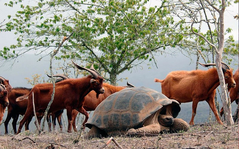 goats giant tortoise galapagos ecuador endemic vacation travel