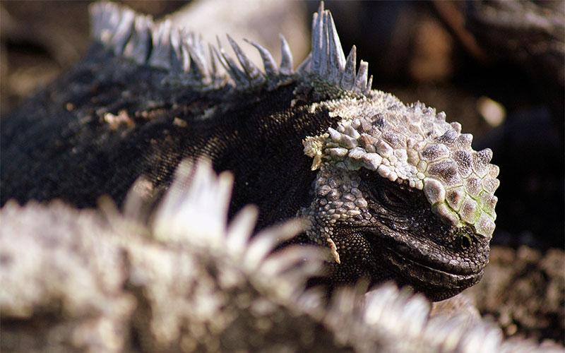 marine iguana galapagos ecuador endemic vacation travel