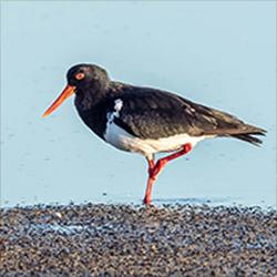 American Oystercatcher Galapagos Birds
