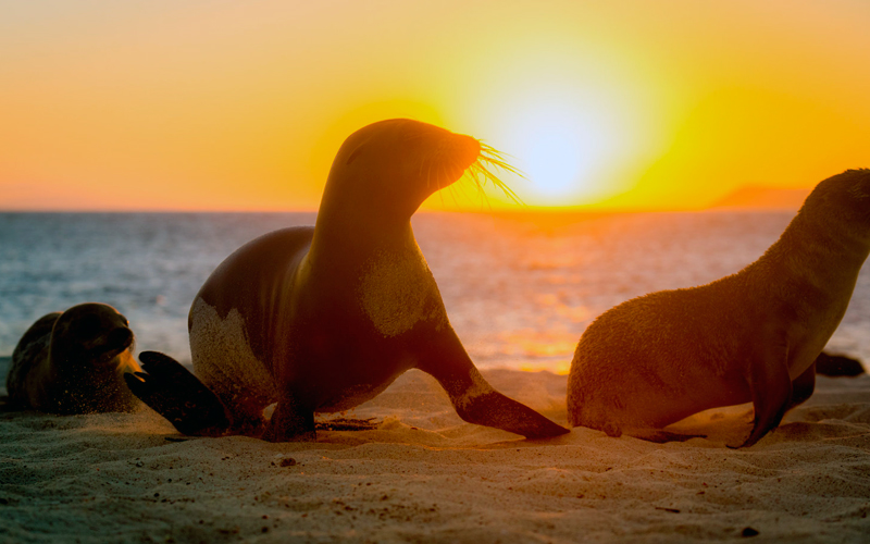 15 fascinating facts about galapagos sea lions sunset