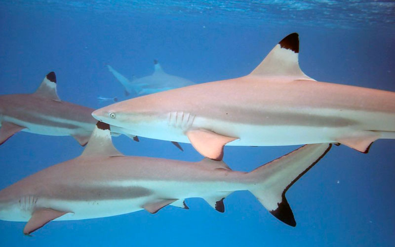 black tip shark galapagos islands underwater adventure travel tours marine life