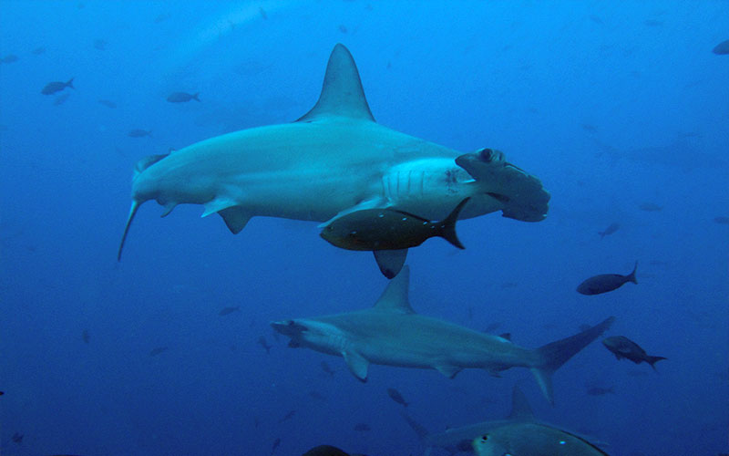 hammerhead shark galapagos underwater diving adventure ecuador travel tourism vacations