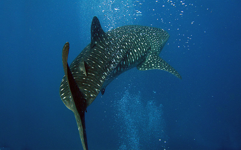 Sharks in the Galapagos