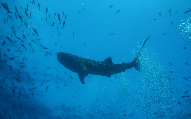 whale shark galapagos underwater marine life adventure travel vacations