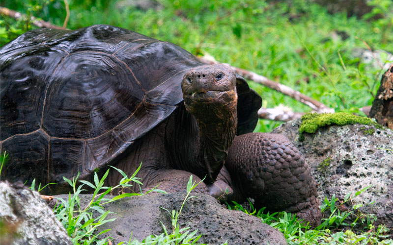 floreana tortois galapagos travel vacations wildlife conservancy
