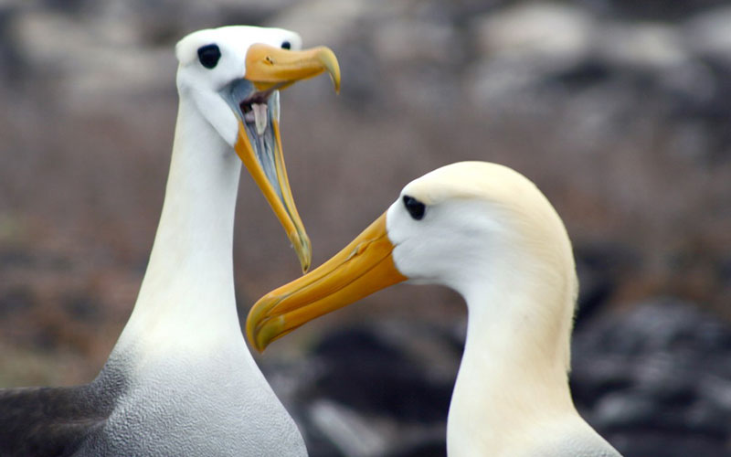 albatross courting galapagos hotels cruises vacations birds wildlife ecuador