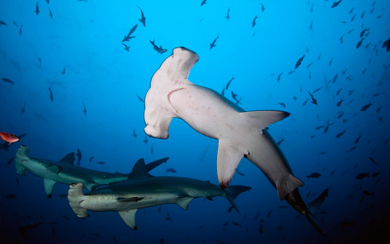 hammerhead shark galapagos diving travel- adventure underwater fishes