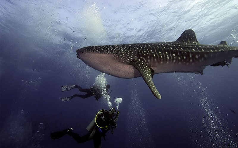 whale shark diving galapagos islands hotels cruises travel adventure underwater