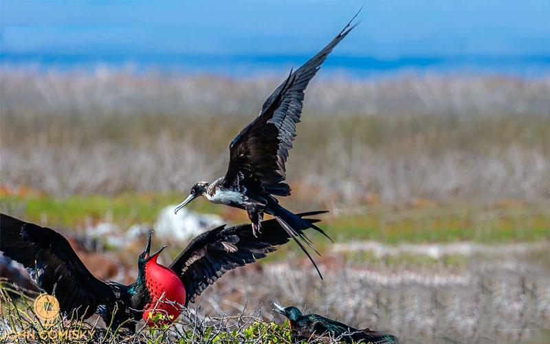 royal frigatebird galapagos hotel cruises vacations travel birds wildlife ecuador