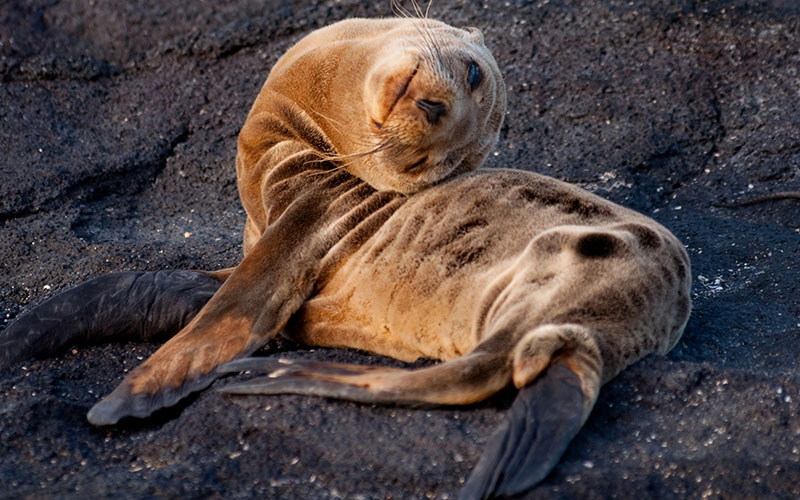 Juvenile Galapagos Sea Lion Under Water