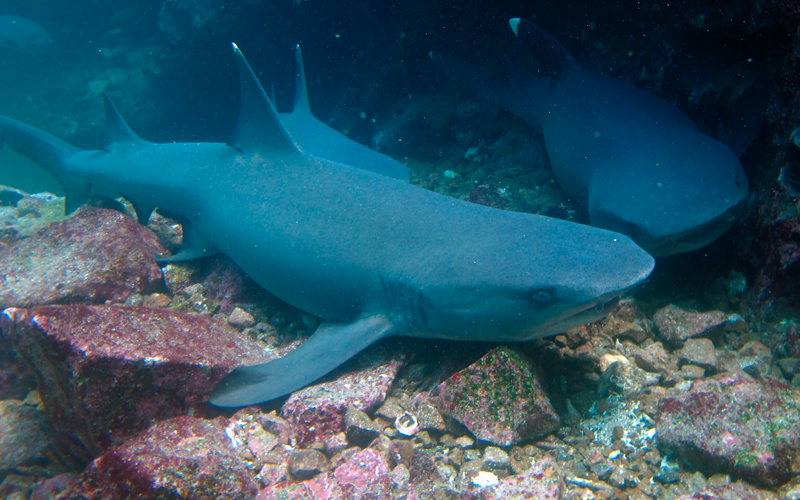 white tip shark galapagos hotel cruises islands