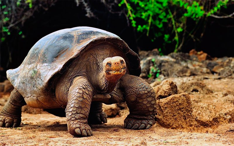 galapagos giant tortoise lonesome george wildlife ecuador species travel vacations cruises