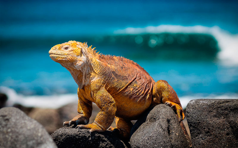 iguana galapagos ecuador sports vacation travel trip tour