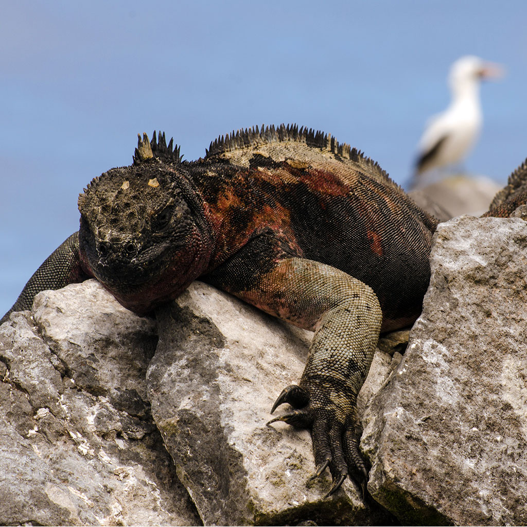 iguana albatross reptile galapagos ecuador endemic vacation travel