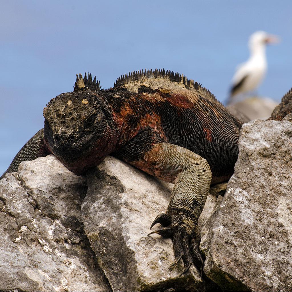 iguana albatross reptile galapagos ecuador endemic vacation travel