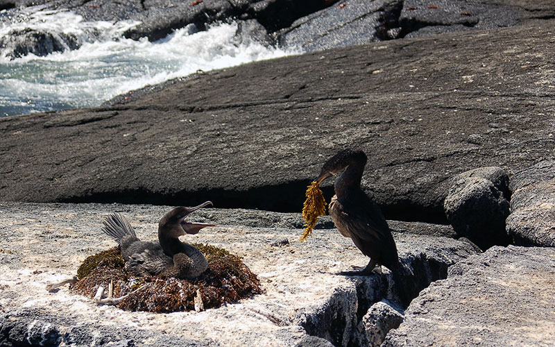 flightless cormorant galapagos birds wildlife dry season