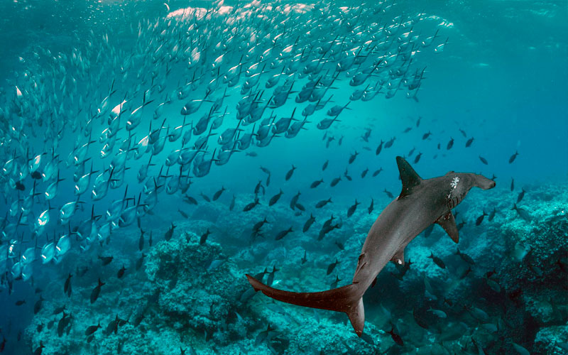 hammerhead sharkwarm season underwater best time galapagos diving summer vacation travel summer winter ecuador galapagos islands