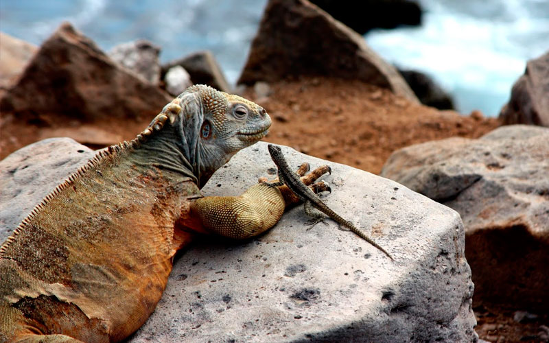 iguana lizard friends galapagos ecuador travel hotels