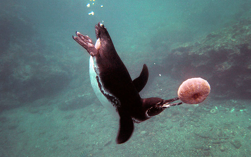 galapagos underwater travel penguin photography
