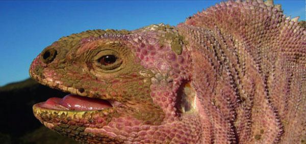 galapagos volcano pink iguana