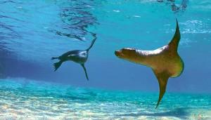Sea lions underwater