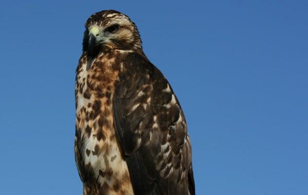 Galapagos Hawks